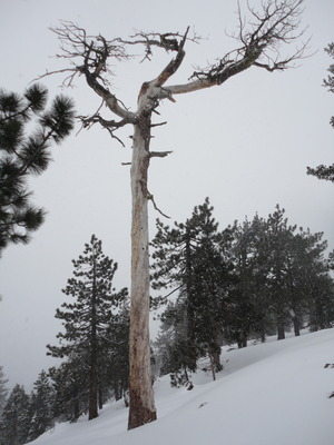 Snowy Umbrella Tree (2013)